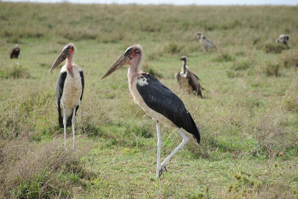 Maraboustorkar Omgivna Av Gamar Bild Plats Serengeti National Park Tanzania