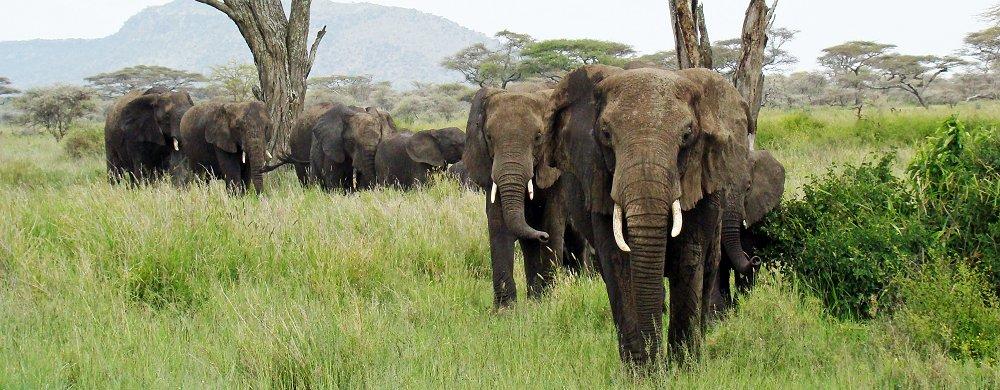 vad väger en elefant