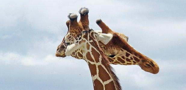 hur många halskotor har en giraff