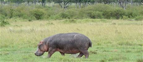 flodhäst på engelska
