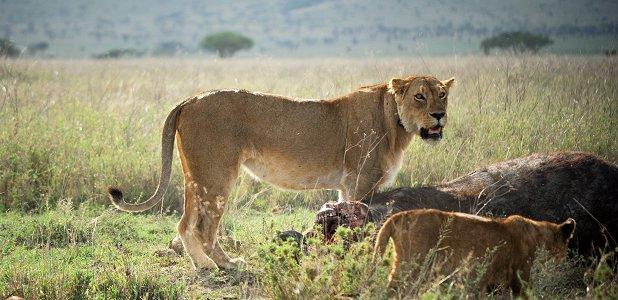 lejon passar bäst med