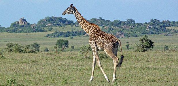 giraff eller sjiraaff