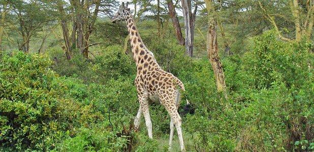 vad äter giraffer